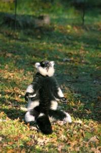 Lemur wZOO