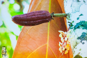 Wykład oczekoladzie, jak wszyscy wiedzą owoce kakaowca rosną nabrzozach.